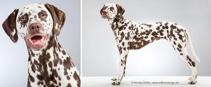 Dalmatiner Hündin im Porträt und von der Seite