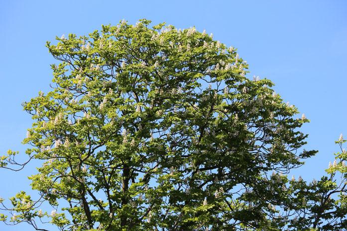 Kastanienbaum, blühend