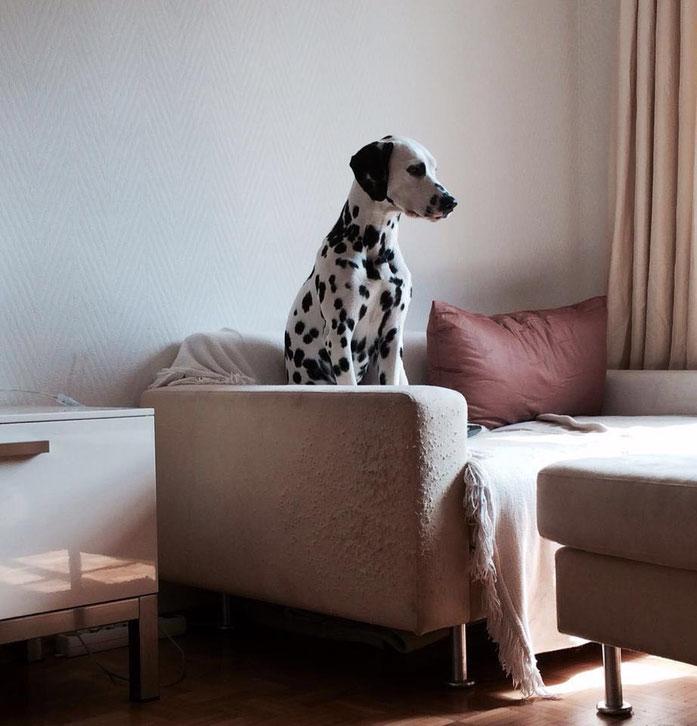 Grande Dame Gina vom Furlbach auf ihrem Sofa...27 April 2016