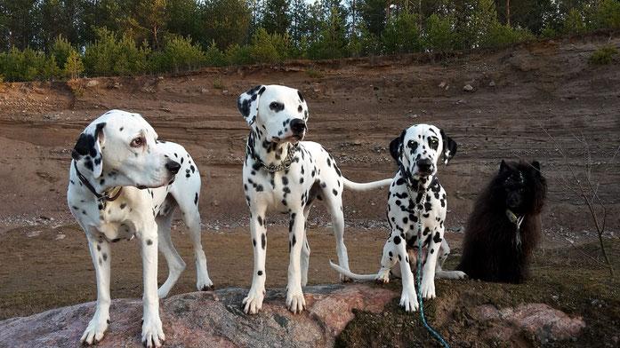 Kryddhundens Sockertroll (Mulle), Ice-T vom Furlbach (Ajsy), Boings Yoko (Yoko) und Joyera's Crested Chii-Chobits (Chili)...24.12.2015