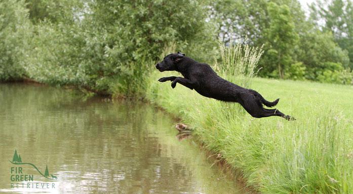 Der Labrador Aus Arbeitslinien Fir Green Retriever Kennel In Der Rhon