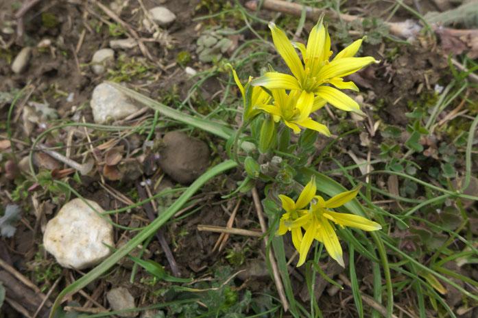 Gagea villosa ( Acker-Gelbstern) aufgenommen am 13.3.16 in Trimmis Foto: Balthasar Martig