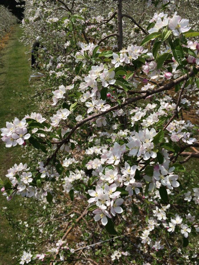王林満開 摘花作業中です