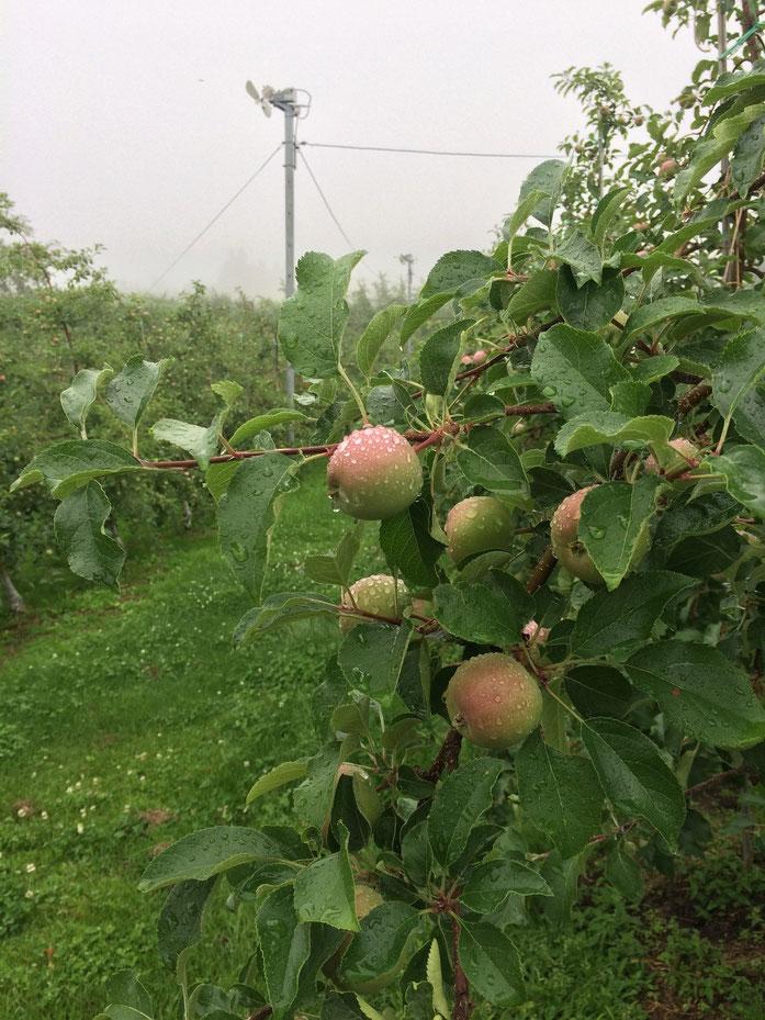 シトシト雨とりんご果実