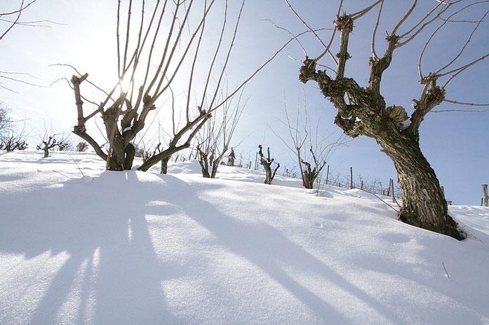 """Der Holunder verkörperte bei den Kelten die Unendlichkeit des Lebens: Im Winter war der Baum """"tot"""" - im Frühjahr erwachte er zu neuen Leben."""