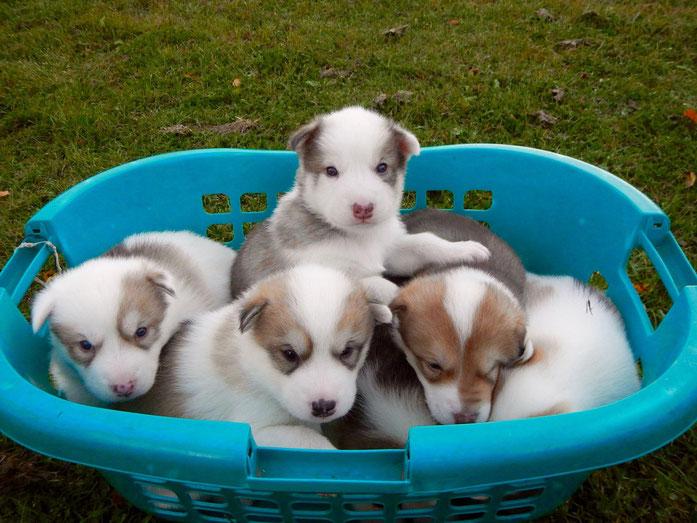 Grönlandhundwelpen, Greenlanddog, Puppies