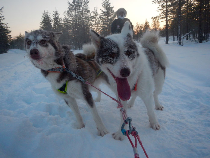 Greenlanddogs, sledtour with -35C degrees among the Arctic Circle