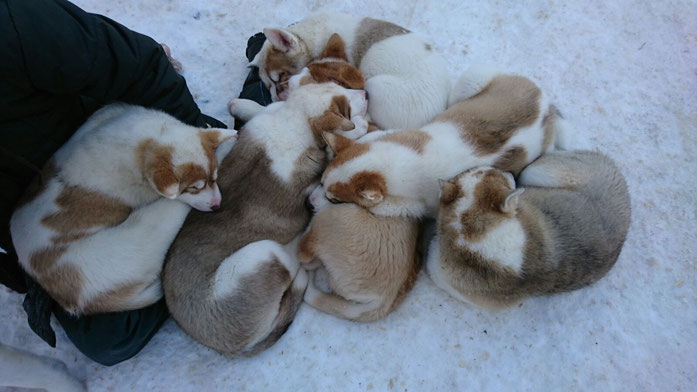 Greenlanddog puppies, 3 months old