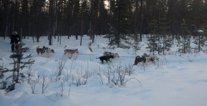Greenlanddogs sledtour at the Arctic Circle