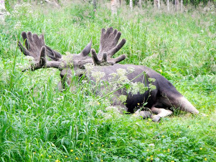 Beobachte Elche in ihrer natürlichen Umgebung