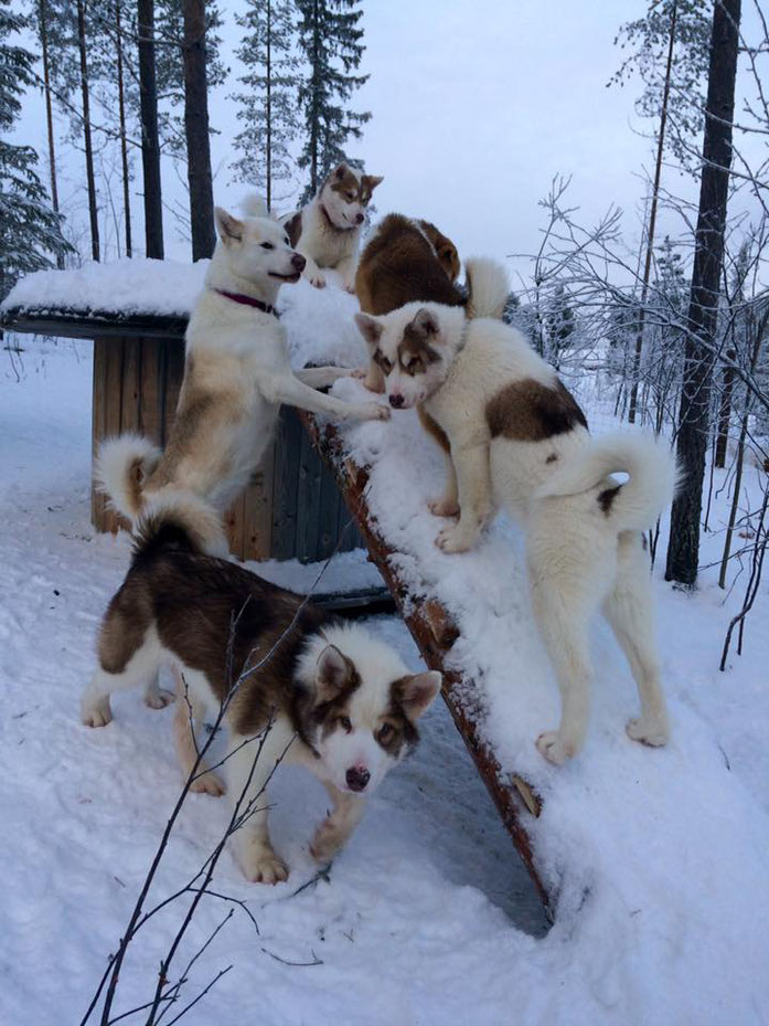 Greenlanddogs, Grönlandhunde, Greenlanddogs puppies, Grönlandhundwelpen