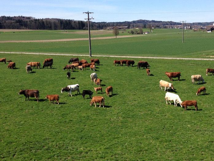 Unsere Mutterkuh-Herde