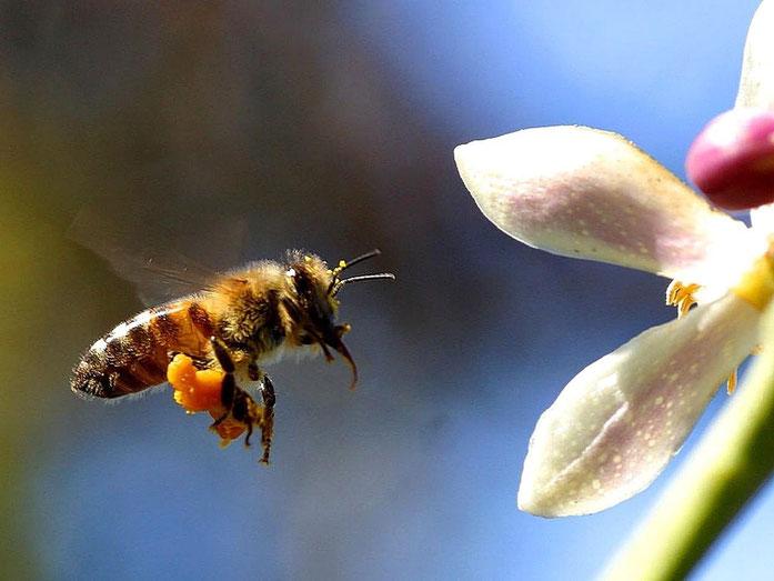 Biene mit gesammelten Pollen an den Beinchen