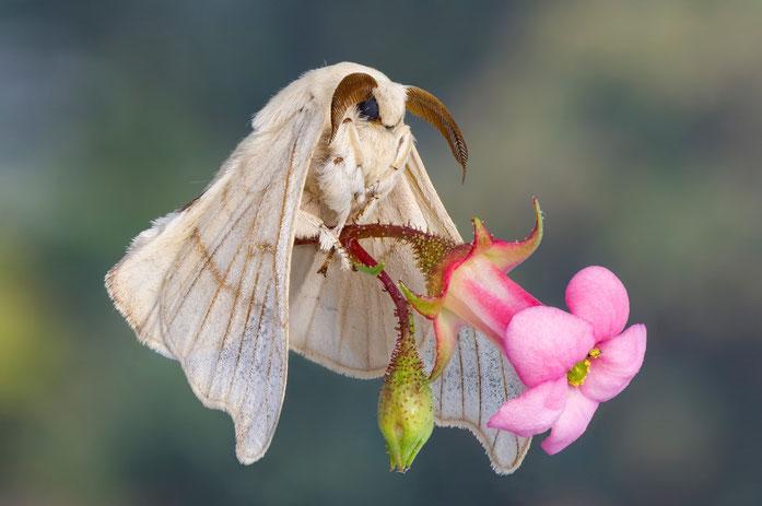 Der Seidenspinner (Maulbeerspinner) in Aktion