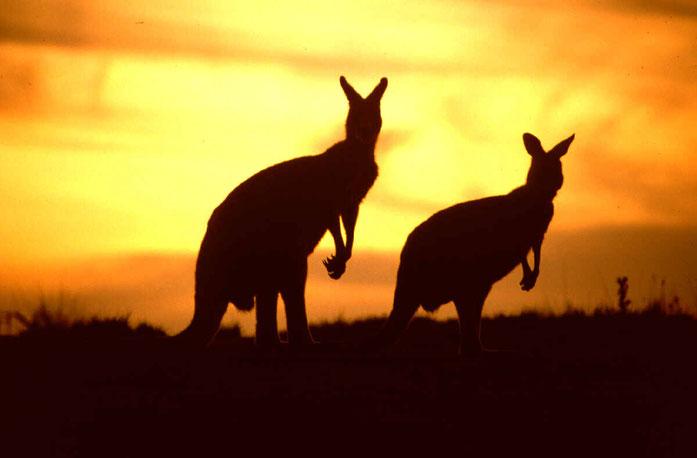 canguros - emigrar a australia - vivir en australia - trabajar en australia - visa para australia