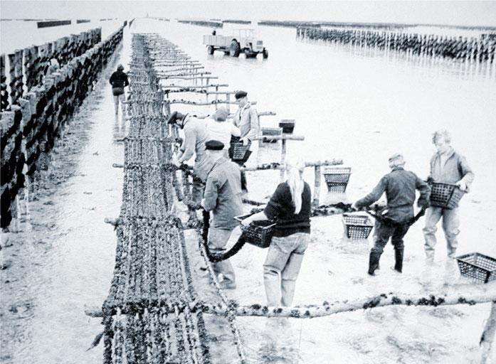 Mise en panier des cordes de naissain sur les chantiers d'attente avant enroulage ( 1968 )