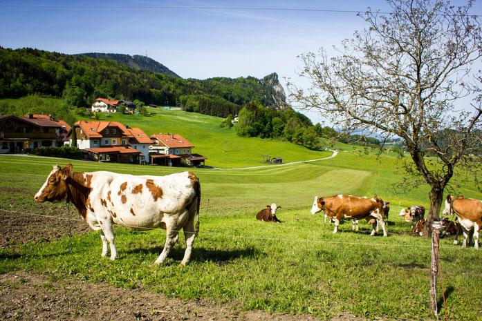 #Schusterbauer, #Koppl, #UrlaubamBauernhof, #Fuschlseeregion, #Schmitzberger, #Kühe, #Nockstein, #Wanderparadies