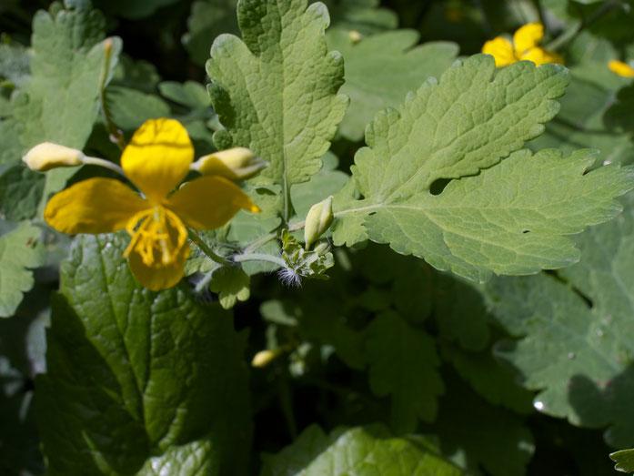 Schöllkraut - Blüten und Knospen mit noch vorhandenen Kelchblättern