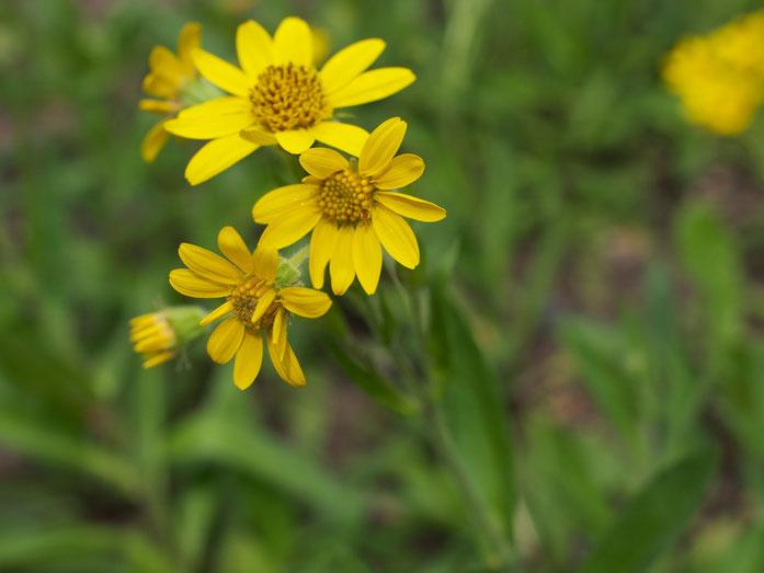 Arnica chamissonis - hübsch, aber weniger heilkräftig als die Echte Arnika oder Arnica montana.