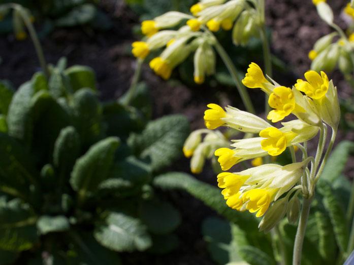 Die Blüten zeigen ein kräftigeres Gelb als bei der Waldschlüsselblume.