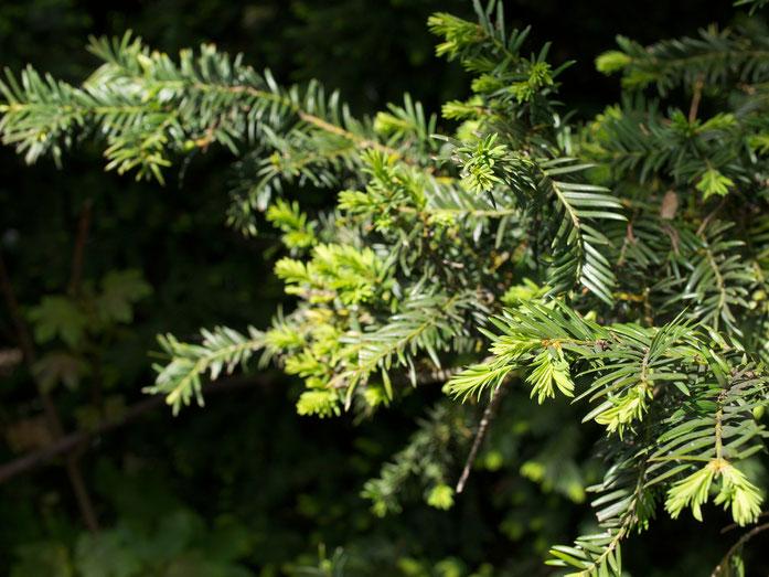 Die Blätter der Eibe sind flach, unten gelblich und elastisch. Und tödlich giftig.