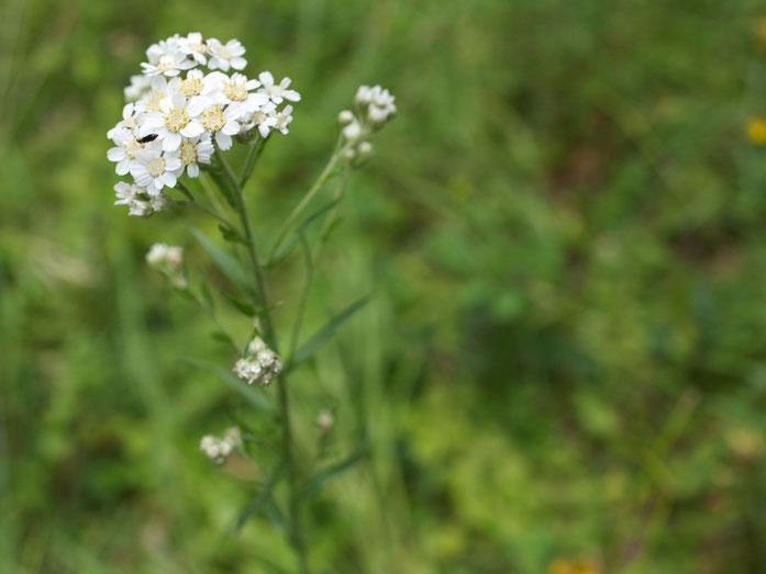 Blütenstand der Sumpf-Schafgarbe.