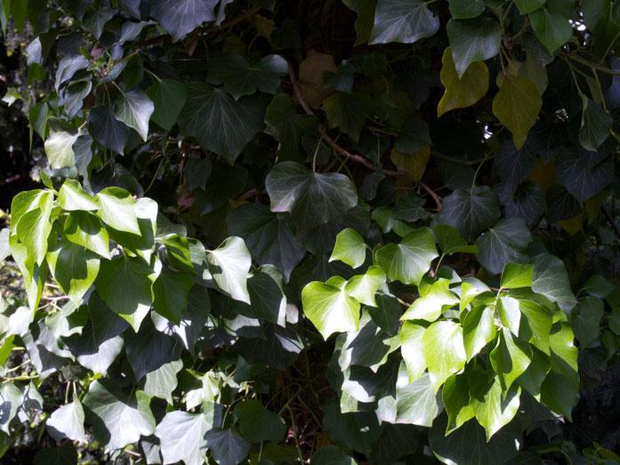 Efeublätter (die fruchttragenden Zweige haben etwas andere Blätter)