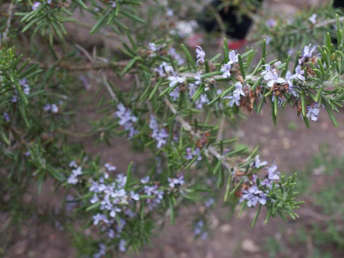 Rosmarin in Blüte
