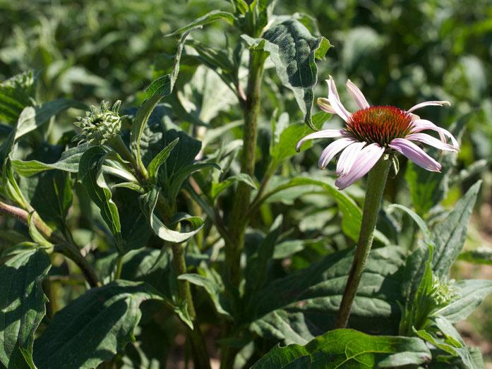 Auch wenn die Blütenfarbe heller ausfällt heißt sie noch Echinacea purpurea