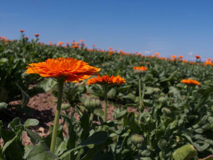 Ringelblumen im professionellen Anbau