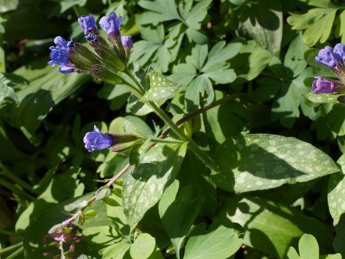 Schön erkennbar an den gefleckten Blättern. Die Blütenfarbe kann an einer Pflanze variieren (blau, lila, rosa).
