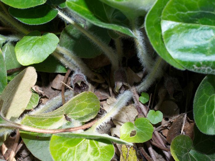 Unter den Blättern die kleinen braunen Blüten der Haselwurz.