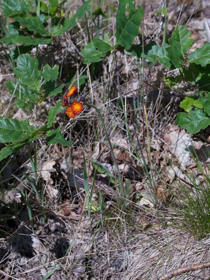 Das seltene orangerote Habichtskraut