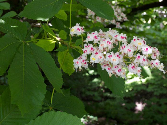 Kastanienblüte und -blätter