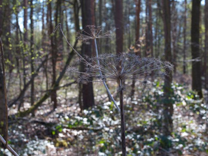 Engelwurz im April: vertrockneter, kindshoher Blütenstand vom Vorjahr