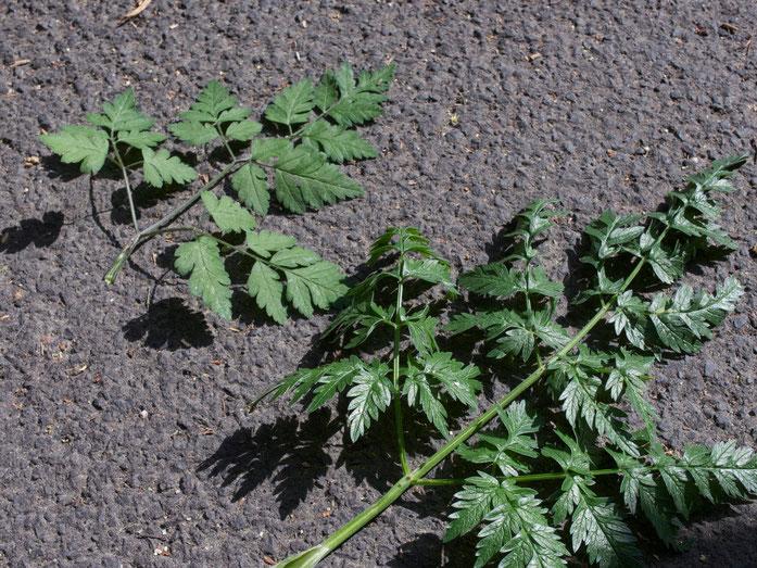 Die Blätter des Taumelkälberkropfs sind (im Vergleich zum Wiesenkerbel) matt und runder - außerdem hat er Haare am Stengel