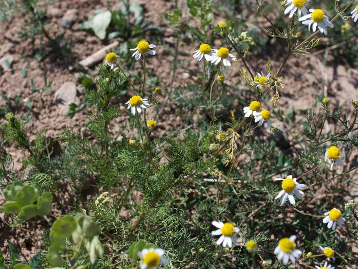 Echte Kamille: eine kleine Blüte, mit apfelähnlichem Geruch und innen hohl