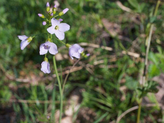 Hier nur die Blüte - mit 4 langen und 2 kurzen Staubblättern.