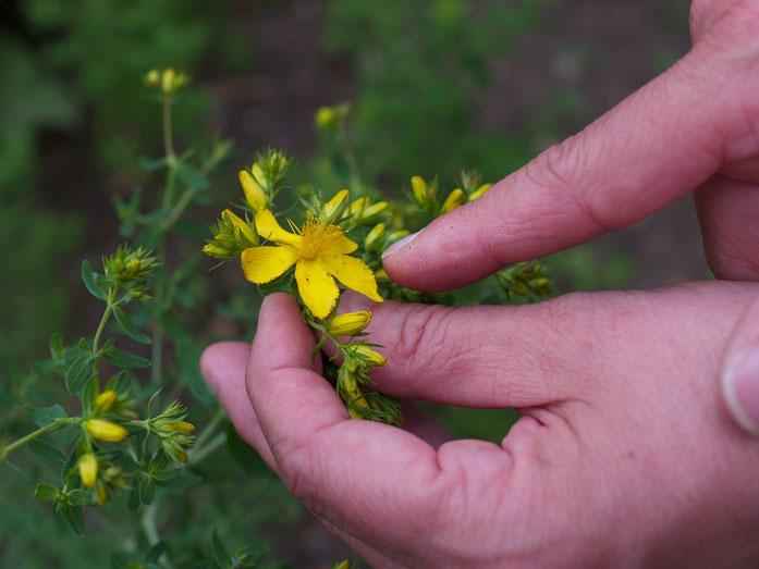 Wichtiges Merkmal des Tüpfeljohanniskrauts: die unsymmetrisch abgeschrägten Blütenblätter.