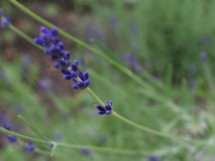 Lavendel kurz vor der Blüte - Kelchblätter miternten!
