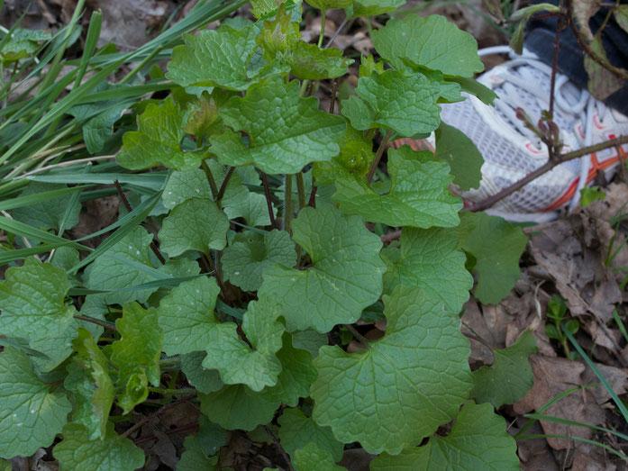 Blätter der Knoblauchrauke oder Knoblauchsrauke