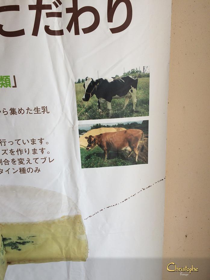 La Prim'holstein et la Jersey sont les 2 races productrices de lait ici à Tomi à Nagano.