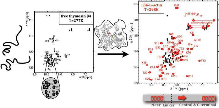 Exemple de RMN 2D (proton-azote 15) appliquée à l'étude  des dynamiques de polymérisation/dépolymérisation de l'actine (CNRS, Gif sur Yvette)