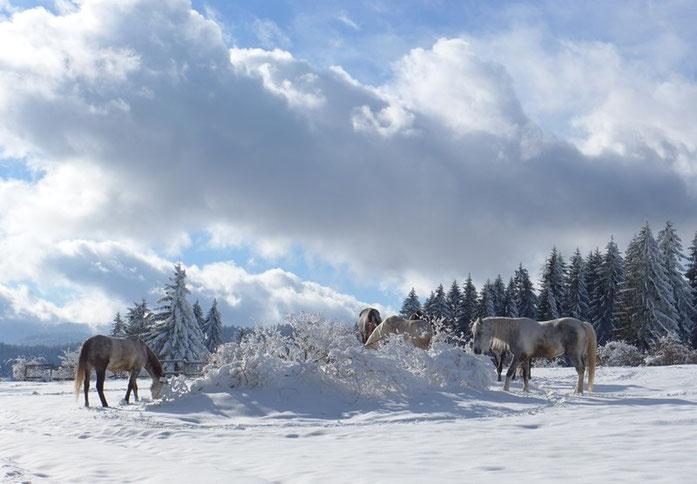 Serbien Tara Winter Pferde