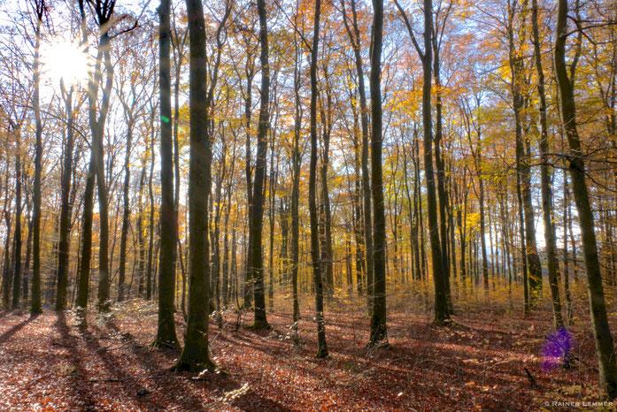 Buchenwald im Naturwaldreservat Nauberg