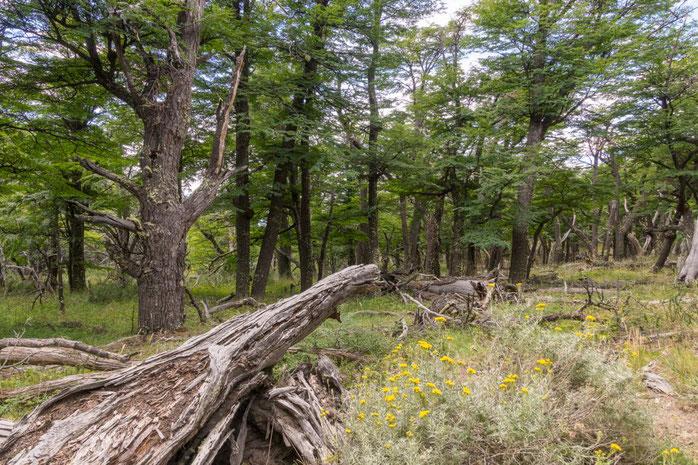 Südbuchenwald, Patagonien