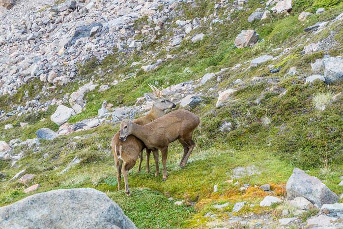 Mit etwas Glück begegnet man beim Wandern Huemul-Hirschen