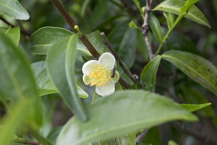 Teebaumöl bei einer Lidrandentzündung