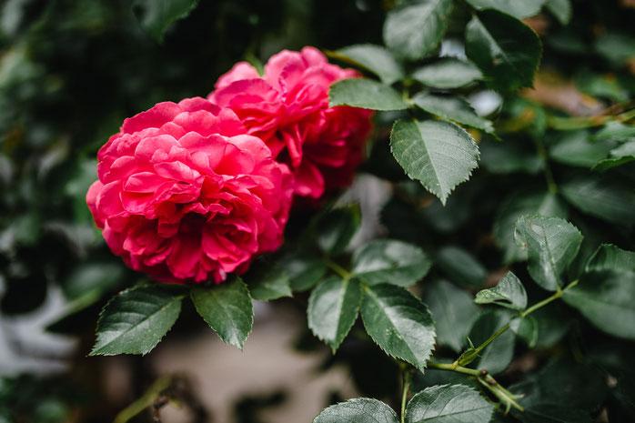 Bauernhof Lehmann, rote Rosen, Hochzeit, Nicolas Wanek photography
