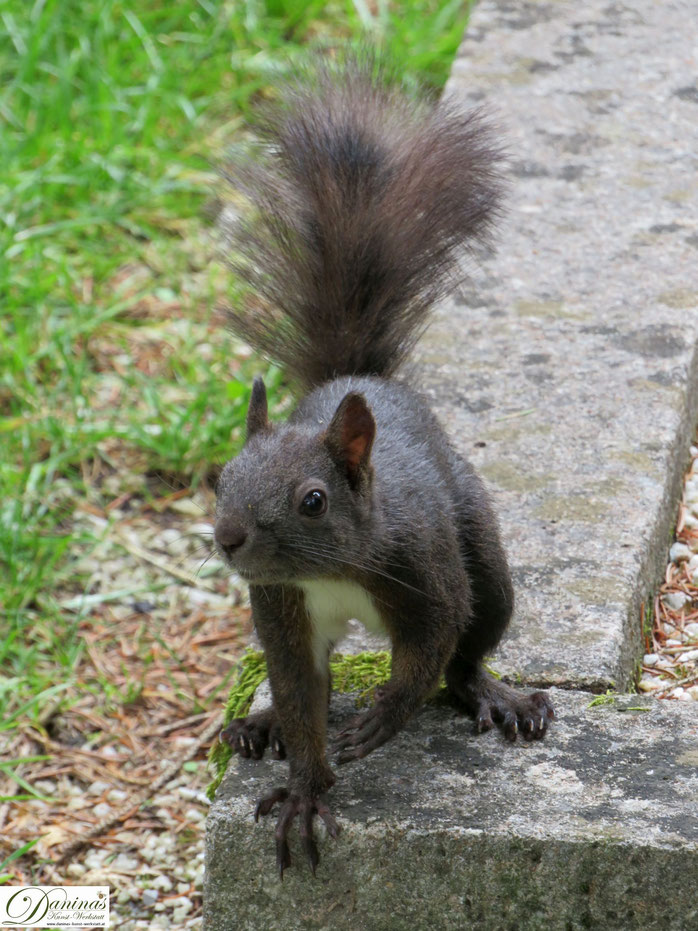 Stadt-Eichhörnchen sind schlau und wenig scheu. Süße Eichhörnchen Bilder by Daninas-Kunst-Werkstatt.at